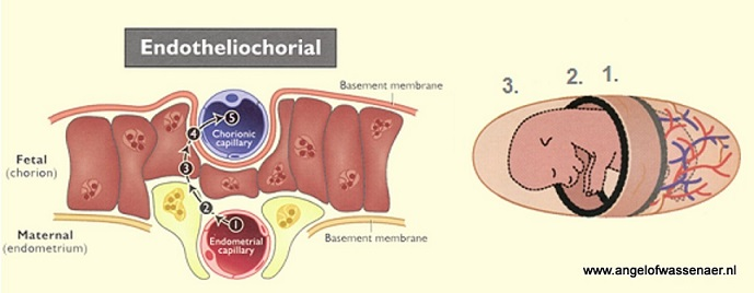 endothelio-choriale placenta