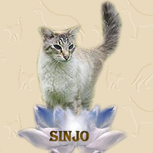 Sinjo onze Seal Tabby Point balinees